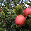 Apples at Autumn Hills Orchard in Groton has pick your own raspberries and apples, and is harvesting peaches. [Don't know variety; it's not one that's ready for picking yet.]  (SUN/Julia Malakie)