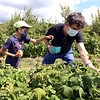 Autumn Hills Orchard in Groton has pick your own raspberries and apples, and is harvesting peaches. Ewan Stone, 10, and his father Justin Stone of Cambridge pick raspberries. (SUN/Julia Malakie)