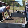 Andy George of Groton and Margaret Doyle of Ayer, both with the Shepherd of the Valley Lutheran church in Ayer, work on the church's raised beds in the Ayer Community Garden, where they grow vegetables to donate to local food pantries. JULIA MALAKIE/LOWELLSUN