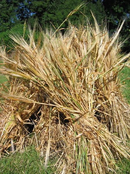 Barley, moments after cutting and bundling