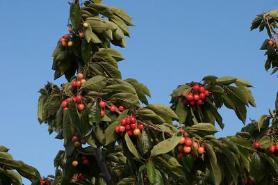 Cherry Trees 2007