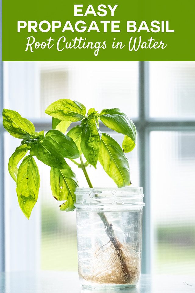 Basil cutting in jar with roots in front of a window with text overly reading Easy Propagate Basil Root Cuttings in water