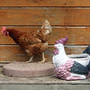 Real chicken and a fake one, at Corey Pride Farm in Dracut, which raises grass-fed beef and free-range chickens. (SUN/Julia Malakie)