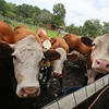 Cows at Corey Pride Farm in Dracut, which raises grass-fed beef and free-range chickens. (SUN/Julia Malakie)