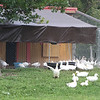 Corey Pride Farm in Dracut, which raises grass-fed beef and free-range chickens. The geese are young and have not yet started producing eggs. (SUN/Julia Malakie)