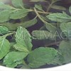 Mint leaves in a boiling cup of tea...