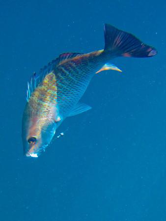 Edible_fish-247