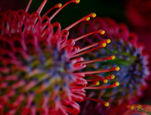 Waratah flower
