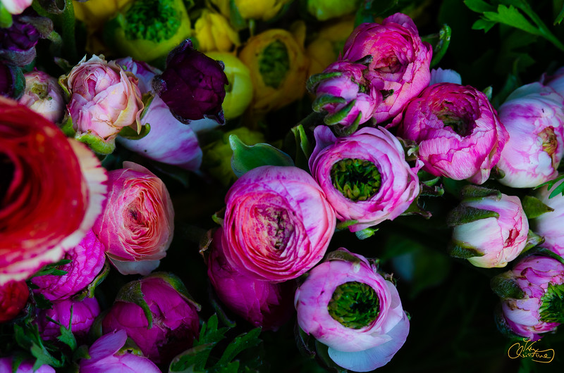 colored ranunculus