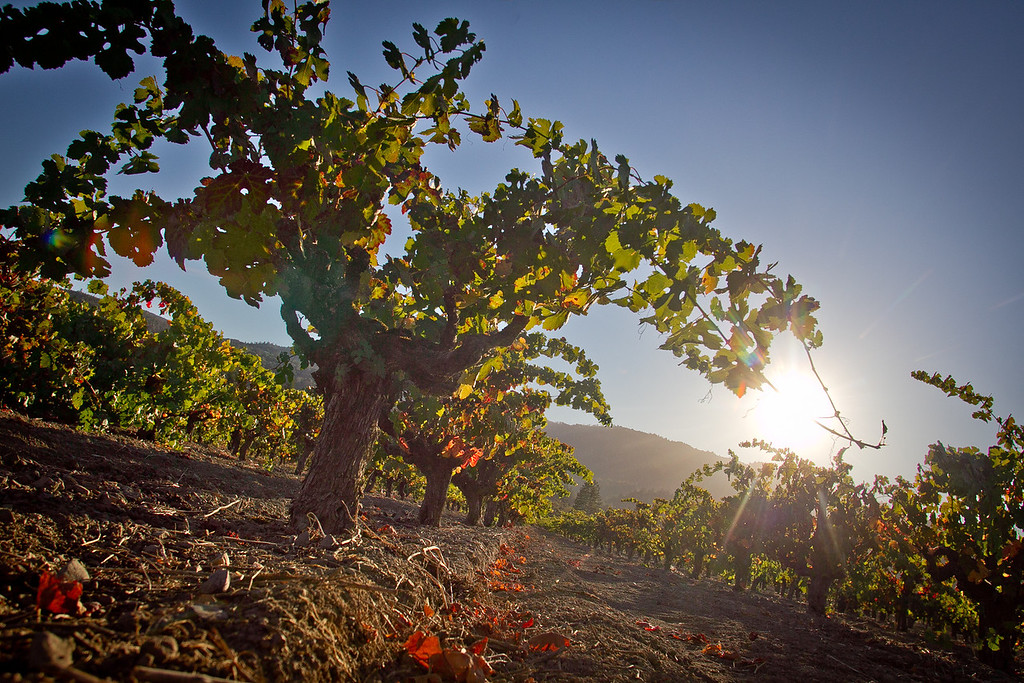 The Hayne Vineyard in St. Helena, Calif., is seen on Sunday, October 21st, 2012. Story about historic vineyards being ripped out.