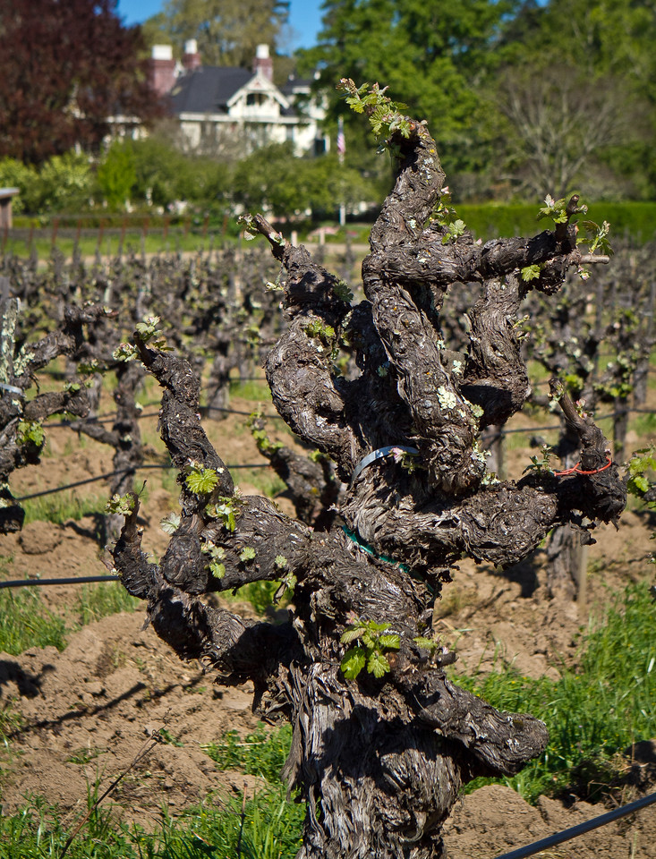 The Garden block of head-trained Cabernet vines with the Niebaum mansion in the background in Rutherford, Calif., is seen on Friday April 20th, 2012.