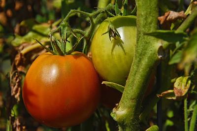 garden-tomatoes-vine