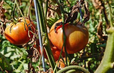 garden-tomatoes-vine-2