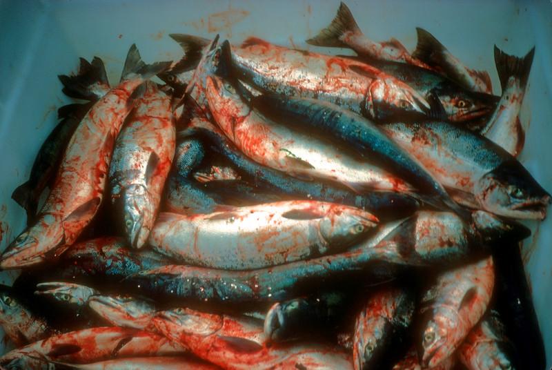 Chum Salmon Cordova Alaska
