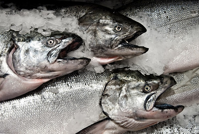 Three Blackmouth Salmon on ice