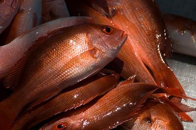 Pacific Snapper (Snapper; Lutjanus peru)