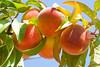 Peaches2578