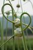 Garlic1660