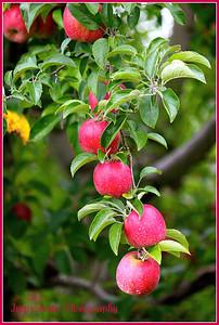 October 5, 2011. Apples.