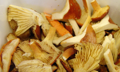 a potpourri of wild mushrooms for the salad: Lactarius hygrophoroides, Hydnum repandum, Cantharellus, Laetiporus