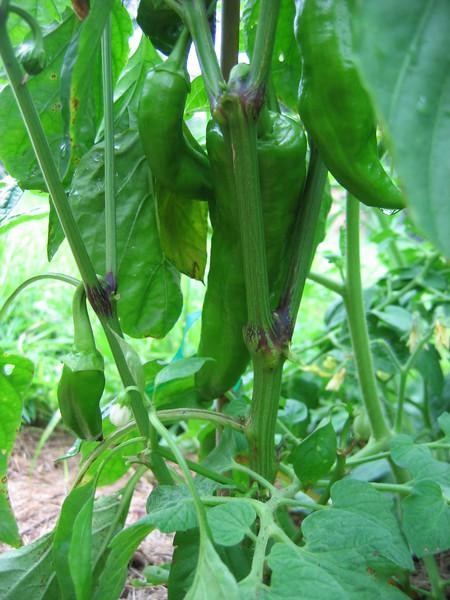 Corno Torro di Rosso pepper