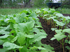 Oilseed radish and buckwheat
