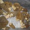 Morels found as Astico County Park, May 10, 2010<br /> To Alma 5/17/11