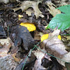 Shy chanterelles, trying to hide under oak leaves....but too pretty to ignore.    July 8, 2010