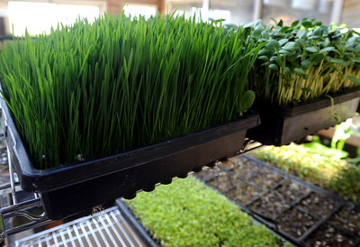 Wheatgrass and sunflowers on the top row at Karim's greenhouse. Karim Amirfathi,  owner of Altan Alma in Louisville, shows some of the microgreens grown at his business. For  more photos and a video on planting greens, go to www.dailycamera.com. Cliff Grassmick/ February 23, 2011