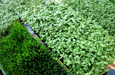Wheatgrass, sunflowers, among others, grown  at Karim's greenhouse. Karim Amirfathi,  owner of Altan Alma in Louisville, shows some of the greens grown at his business. For more photos and a video on planting greens, go to www.dailycamera.com. Cliff Grassmick/ February 23, 2011