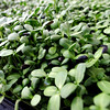 "These are sunflower microgreens in Karim's greenhouse.<br /> Karim Amirfathi,  owner of Altan Alma in Louisville, shows some of the greens grown at his business.<br /> For more photos and  a video on planting greens, go to  <a href=""http://www.dailycamera.com"">http://www.dailycamera.com</a>.<br /> Cliff Grassmick/ February 23, 2011"