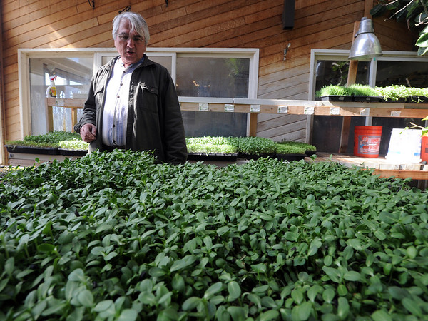 "Karim Amirfathi,  owner of Altan Alma in Louisville, looks over some of the microgreens grown in his greenhouse.<br /> For more photos and  a video on planting greens, go to  <a href=""http://www.dailycamera.com"">http://www.dailycamera.com</a>.<br /> Cliff Grassmick/ February 23, 2011"