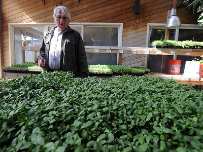 Karim Amirfathi,  owner of Altan Alma in Louisville, looks over some of the microgreens grown in his greenhouse. For more photos and  a video on planting greens, go to www.dailycamera.com. Cliff Grassmick/ February 23, 2011