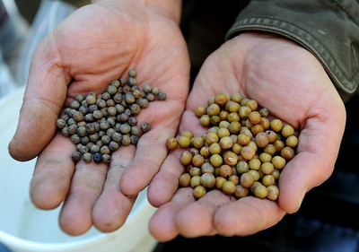 Regular pea seeds on the left, pea seeds that have been soaked for 12 to 16 hours on the right. Karim Amirfathi,  owner of Altan Alma in Louisville, shows some of the microgreens grown at his business. For more photos and a video on planting greens, go to www.dailycamera.com. Cliff Grassmick/ February 23, 2011