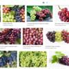"""""""grapes""""<br /> <br /> goodnesss<br /> <a href=""""https://salphotobiz.smugmug.com/search#q=goodness&i=0"""">https://salphotobiz.smugmug.com/search#q=goodness&i=0</a>"""