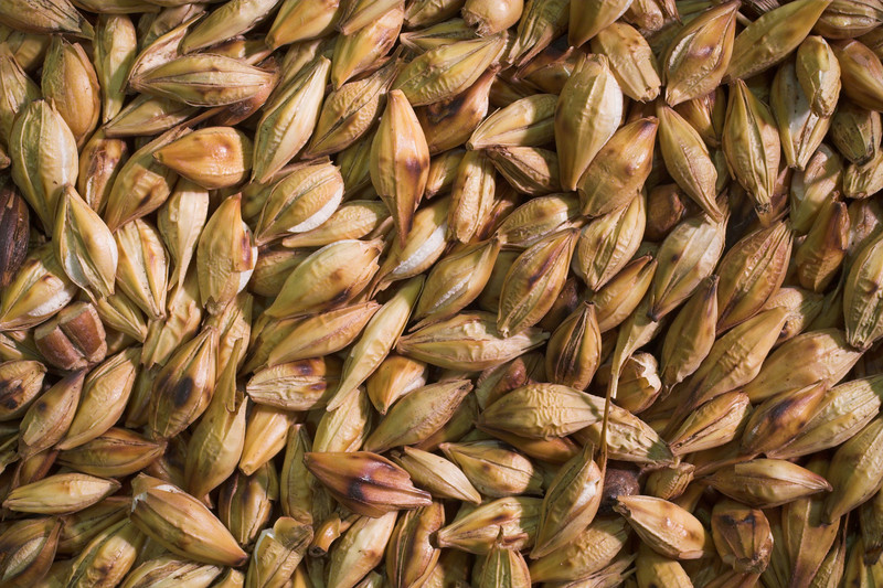 toasted barley in high resolution macro photo made with 50mm f/2.8 1:1 macro lens. This image will make nice decoration or illustration for publish.<br /> Image is copyrighted by Stan Pustylnik.