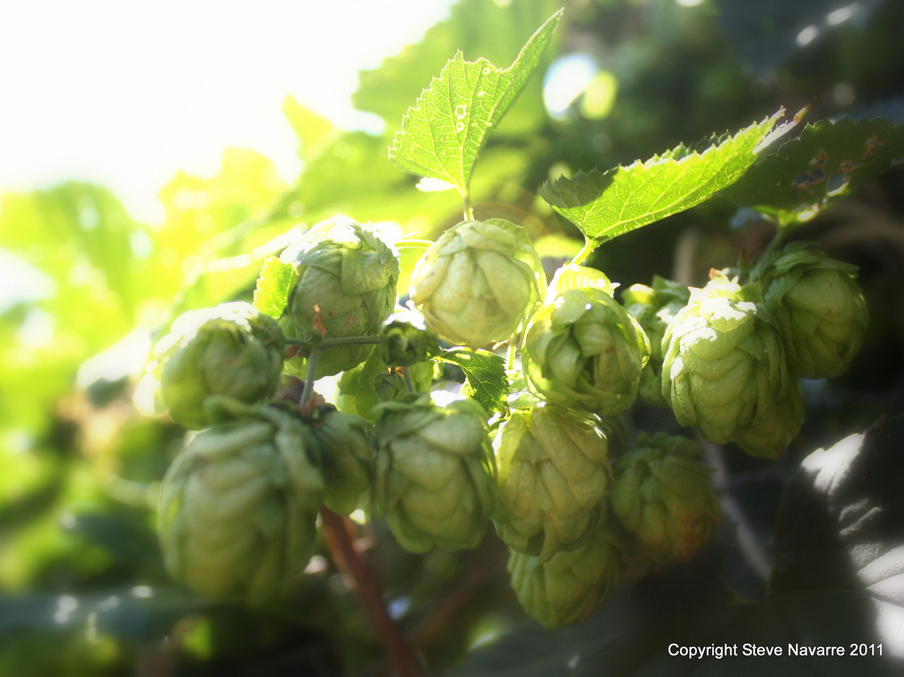 Another nice little cluster of hops