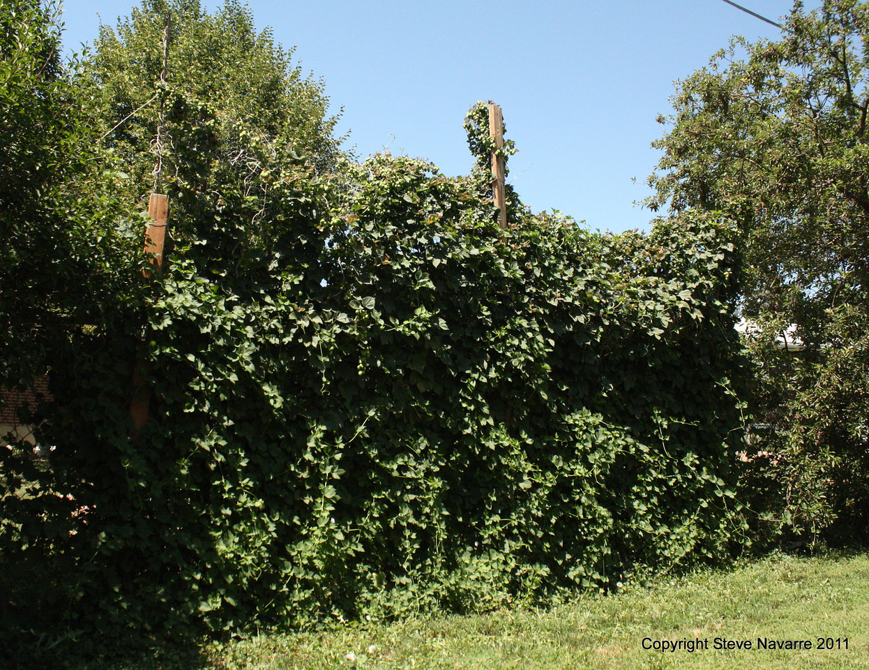 Wall of hops.  Center pole is 10 ft high for perspective.  These plants are about 14 years old.
