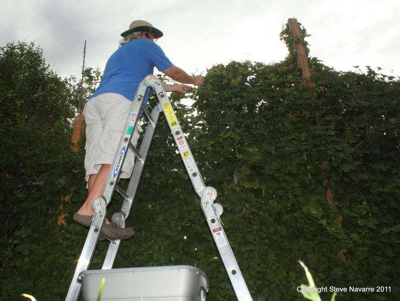 Yours truly in the 7' ladder picking plucking ans snipping.
