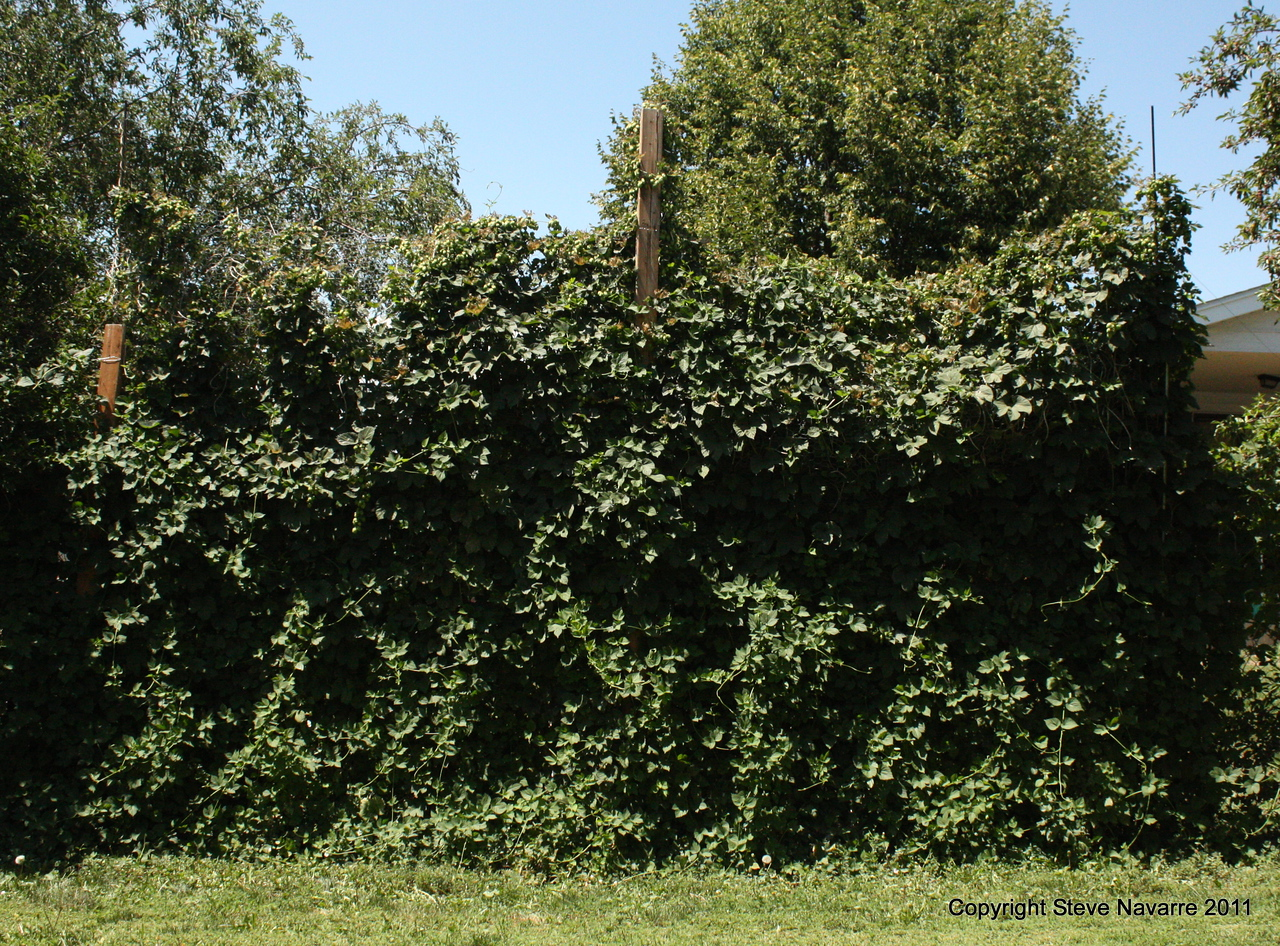 Wall of hops.  Center pole is 10 ft high for perspective