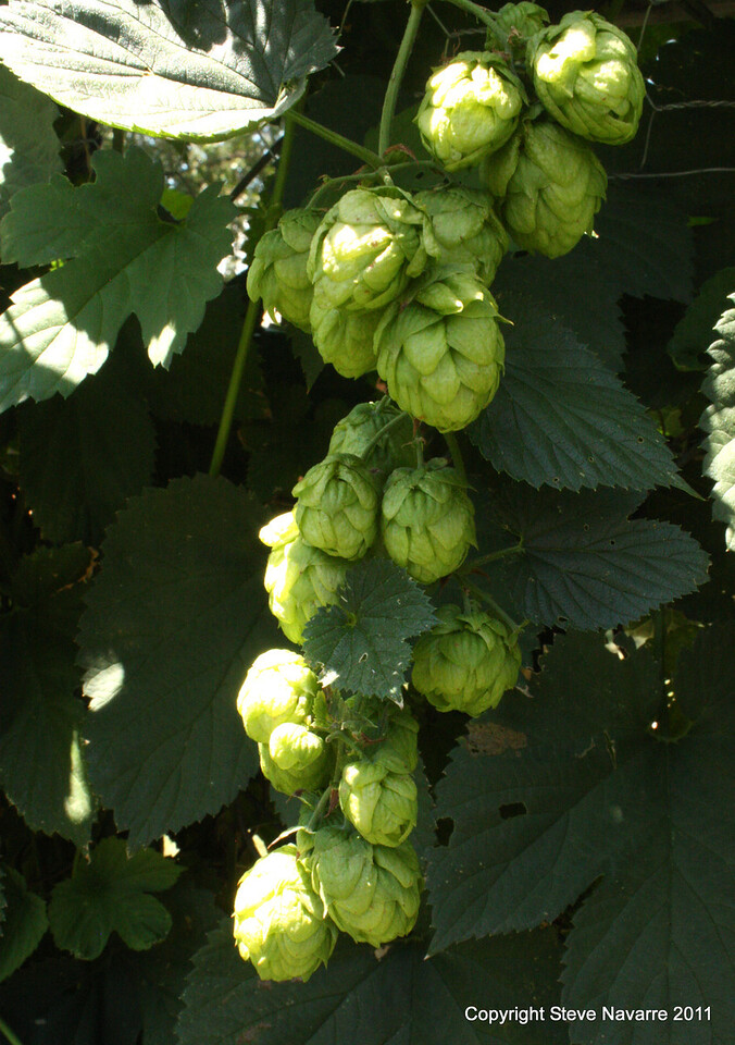 Nice little cluster of hops