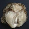 Oyster Mushroom II