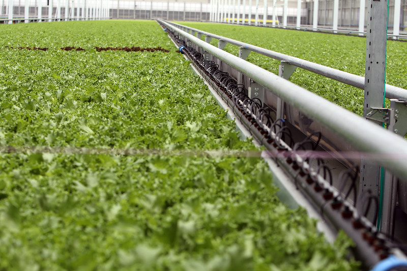 "Little Leaf Farms' three-acre greenhouse for growing organic baby lettuce, which is sold fresh-picked around New England. Lettuce is grown from seed in 25 days in narrow planters, which are automatically transferred to a conveyor belt for packaging and shipping. The black tubes are part of the ""fertigation"" system. (SUN/Julia Malakie)"