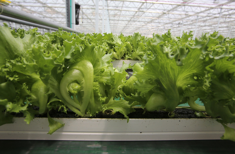 Little Leaf Farms' three-acre greenhouse for growing organic baby lettuce, which is sold fresh-picked around New England. Lettuce is grown from seed in 25 days in narrow planters, which are automatically transferred to a conveyor belt for packaging and shipping. (SUN/Julia Malakie)