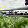 "Little Leaf Farms' three-acre greenhouse for growing organic baby lettuce, which is sold fresh-picked around New England. ""Fertigation"" system provides both fertilizer and water. (SUN/Julia Malakie)"