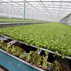Little Leaf Farms' three-acre greenhouse for growing organic baby lettuce, which is sold fresh-picked around New England. Lettuce is grown from seed in 25 days in narrow planters, which are automatically transferred to a conveyor belt (red lettuce in foreground) for packaging and shipping. (SUN/Julia Malakie)