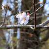 Bill Broderick the owner of Sunny Crest Orchards in Sterling showed off his peach trees and talked about how they will not bear fruit this year. He said that his peach trees should look like this wild cherry tree blossom. SENTINEL & ENTERPRISE/JOHN LOVE