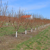 Bill Broderick the owner of Sunny Crest Orchards in Sterling showed off his peach trees and talked about how they will not bear fruit this year. This is a row of his peach trees that should already have blossoms on them. SENTINEL & ENTERPRISE/JOHN LOVE