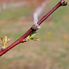 Bill Broderick the owner of Sunny Crest Orchards in Sterling showed off his peach trees and talked about how they will not bear fruit this year. On this branch of one of his peach trees you can see the blossom is gray and will not bloom this year. The cold weather we just had has stop the trees from having fruit but they are still healthy and should have peaches next season.  SENTINEL & ENTERPRISE/JOHN LOVE