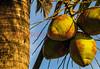 120630 - 0195 Coconuts
